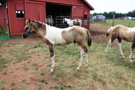 Ds Heaven Dun Fancy , American Paint Horse Association Colt for sale in Arkansas