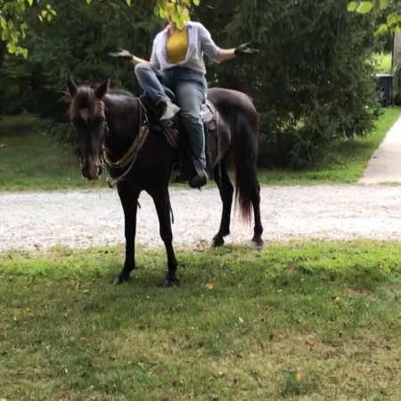Dobbs, Tennessee Walking Horses Gelding for sale in Indiana