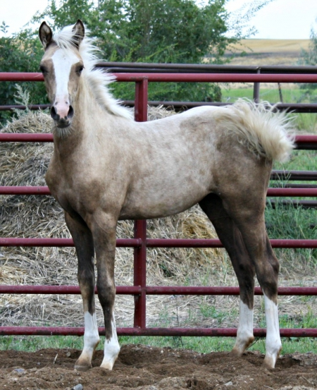 NSS American Girl (raf), Morgan Filly for sale in North Dakota
