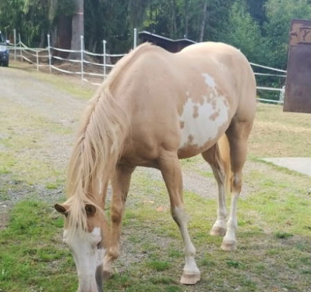 Nugget, American Paint Horse Association Gelding for sale in Washington