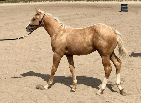 Skipper , American Quarter Horse Colt for sale in Illinois