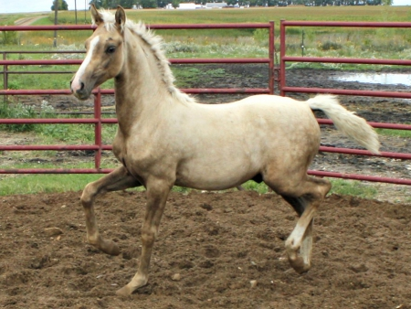 NSS Night Moves, Morgan Colt for sale in North Dakota