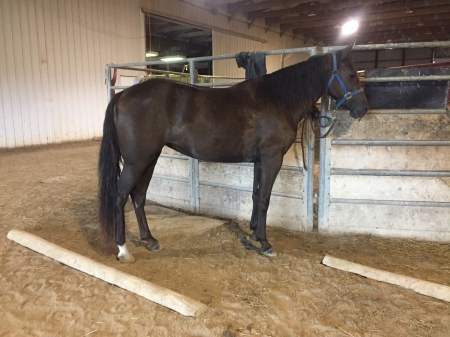 Prime's Charming Zee, Missouri Fox Trotting Horse Mare for sale in Missouri