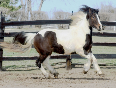 Kenai BEC, Gypsy Cob Colt for sale in Minnesota