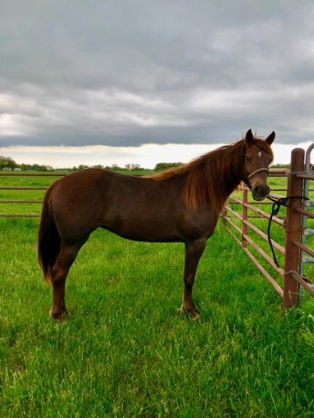 Playboy's Reno Velvet, Missouri Fox Trotting Horse Mare for sale in Missouri