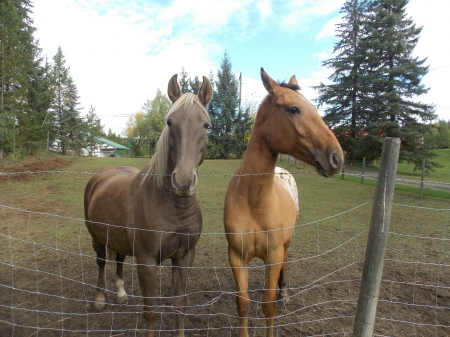 Penny, Rocky Mountain Mare for sale in British Columbia