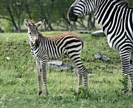 Zebra filly and colt for new homes, Zebra Filly for sale in California