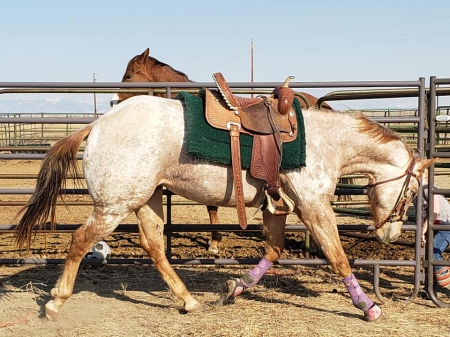 TheLukeOfAPrincess, Appaloosa Filly for sale in Wyoming