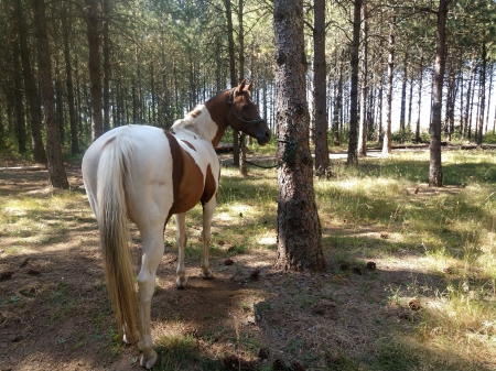 Juniors Red Sharpie (Miss Sassie Frassie), American Paint Horse Association Mare for sale in Oregon