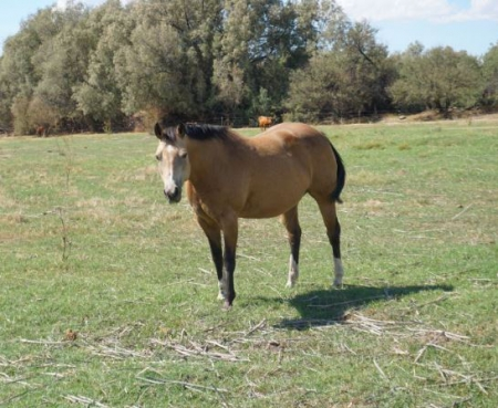 Napoleons Trix, American Quarter Horse Mare for sale in Arizona