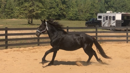 Elise, Draft Mare for sale in Georgia