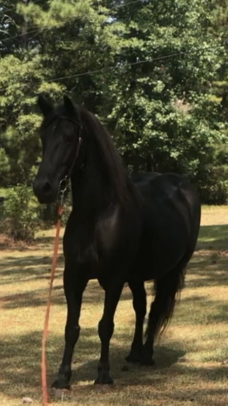 Doc, Draft Gelding for sale in Georgia