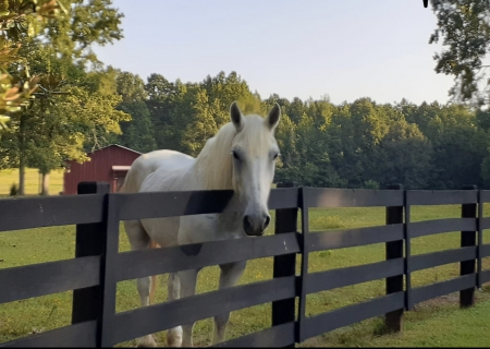 Bella, Percheron Mare for sale in Georgia