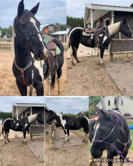 Saffron, American Paint Horse Association Mare for sale in Wisconsin