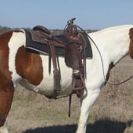 SADIE, American Quarter Horse Gelding for sale in Texas
