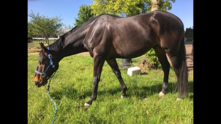 Rocky, Thoroughbred Gelding for sale in Oregon