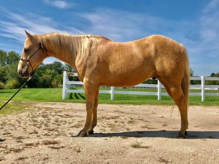 Larks Captain Jack, American Quarter Horse Gelding for sale in Illinois