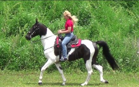 Moonpie, Tennessee Walking Horses Gelding for sale in Texas