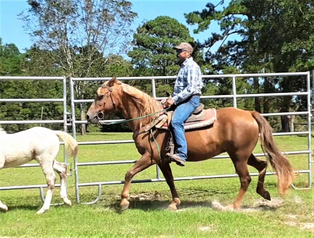 Sugar, Rocky Mountain Mare for sale in Texas