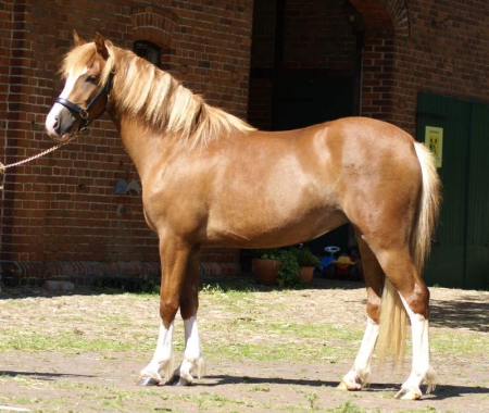 the Pony to celebrate your Christmas with, Ponies Mare for sale in Texas