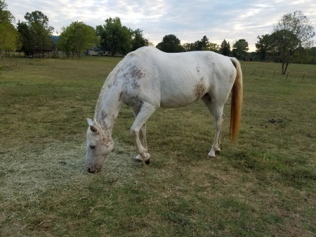 Coyote, Appaloosa Mare for sale in Alabama
