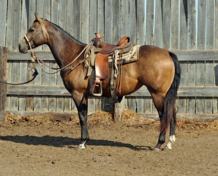 Guns Classic Storm, American Quarter Horse Mare for sale in North Dakota