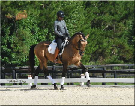 Jupiter, Lusitano Gelding for sale in Florida