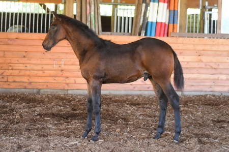 Osbourne CSF, Dutch Warmblood Colt for sale in British Columbia
