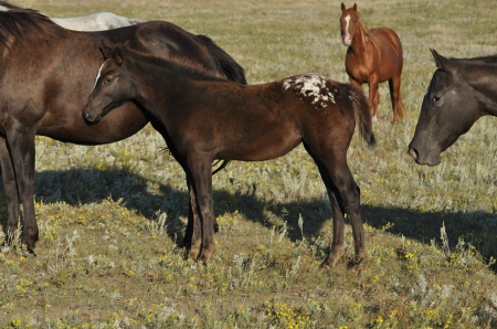 Name Pending, Appaloosa Filly for sale in North Dakota