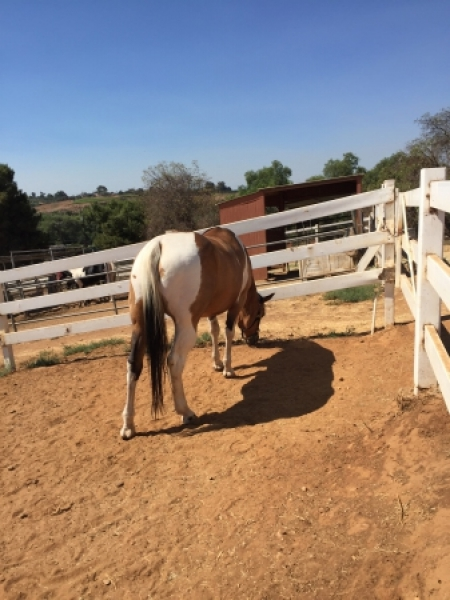 TWL LADZ OLEANA LASS (Bunny), American Paint Horse Association Mare for sale in California