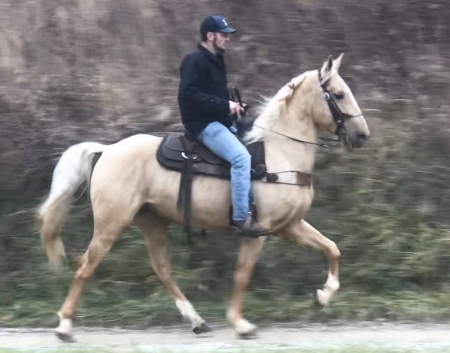 King Arthur, Tennessee Walking Horses Gelding for sale in Kentucky
