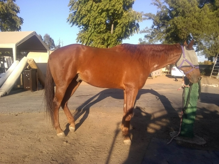 Conner, American Quarter Horse Gelding for sale in California