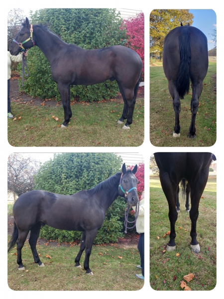 Yogi, American Quarter Horse Gelding for sale in Indiana