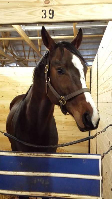 Mercer's Mark (Freckles), Thoroughbred Gelding for sale in Ohio