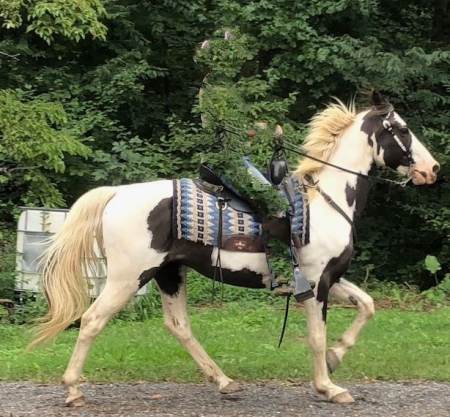 Merlin, Tennessee Walking Horses Gelding for sale in Pennsylvania