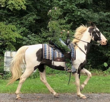 Merlin, Tennessee Walking Horses Gelding for sale in Pennsylvania