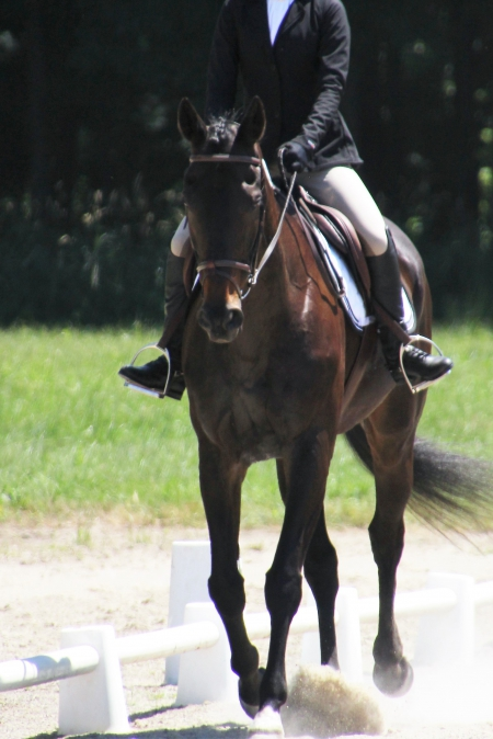 Broadway , Thoroughbred Gelding for sale in Ohio