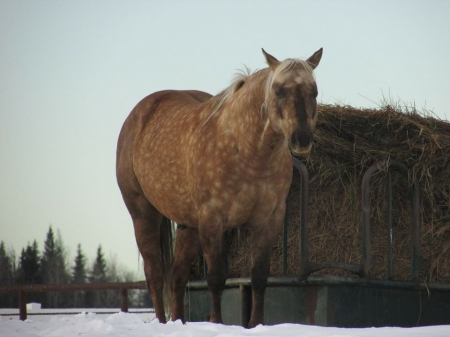 Coolest After Elvis, American Quarter Horse Stallion for sale in Alberta