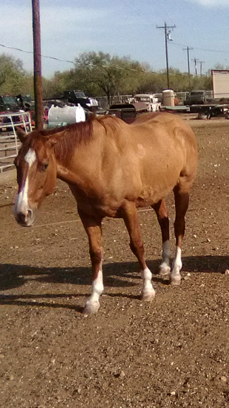 EL fino, Quarter Horse Cross Gelding for sale in Texas