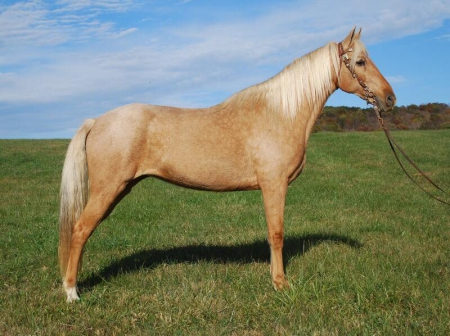 Holly Madison , Kentucky Mountain Saddle Horse Mare for sale in Kentucky