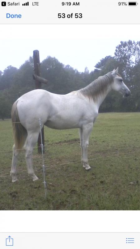 CW, American Quarter Horse Colt for sale in Alabama