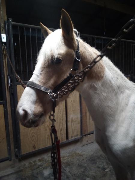 TWHBEA Wonderful Gelding, Tennessee Walking Horses Gelding for sale in Tennessee