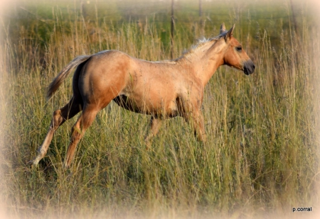 Habanero Peach, American Quarter Horse Filly for sale in Washington