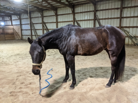 Artful Escapist, American Quarter Horse Gelding for sale in Ohio