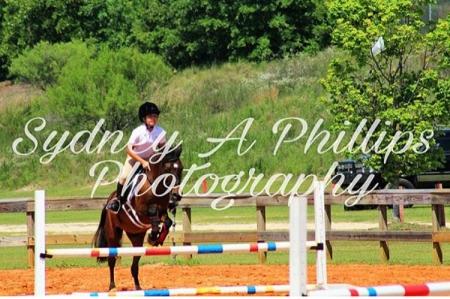 Hackney jumper pony, Hackney Pony Gelding for sale in South Carolina