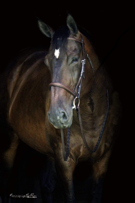 "Nobody's Business, ""Gnocchi"", Oldenburg Gelding for sale in Pennsylvania"