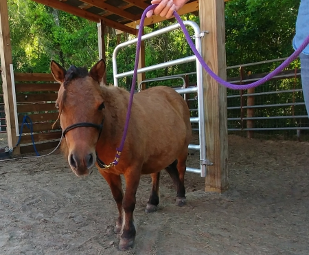 Dun Love SOS, Miniature Mare for sale in Florida