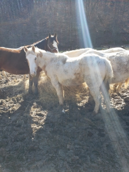 Pete, American Quarter Horse Colt for sale in Tennessee