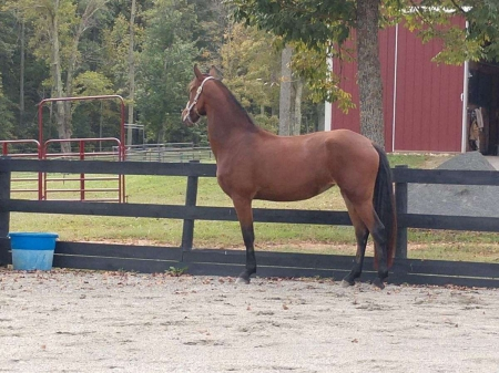 Mayhems Athena, Other Mare for sale in Virginia