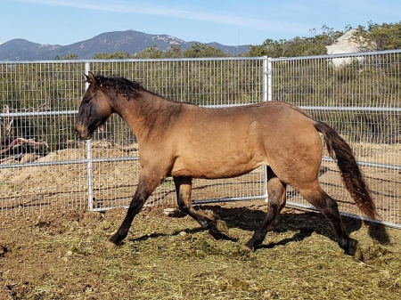 Legacy - AQHA Dun Filly!, American Quarter Horse Filly for sale in California